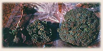 Broccoli grown using conventional, organic, and GROW BIOINTENSIVE methods. The GROW BIOINTENSIVE Broccoli is larger and more vigorous